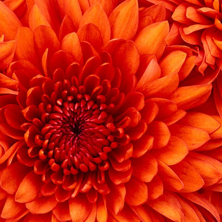 Normal chrysanthemum